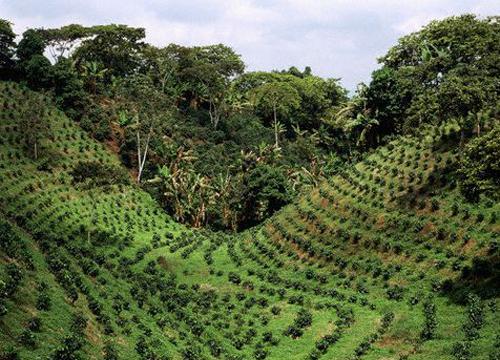 Plantación de café en Armenia, Colombia
