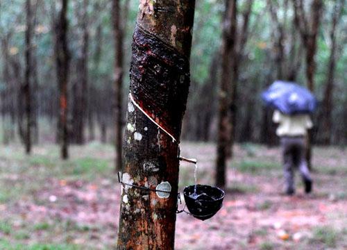Tronco de arbol en proceso de resinación en Santarem, Brasil