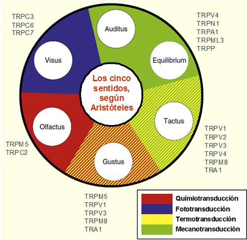 Gráfico circular con los cinco sentidos según Aristóteles