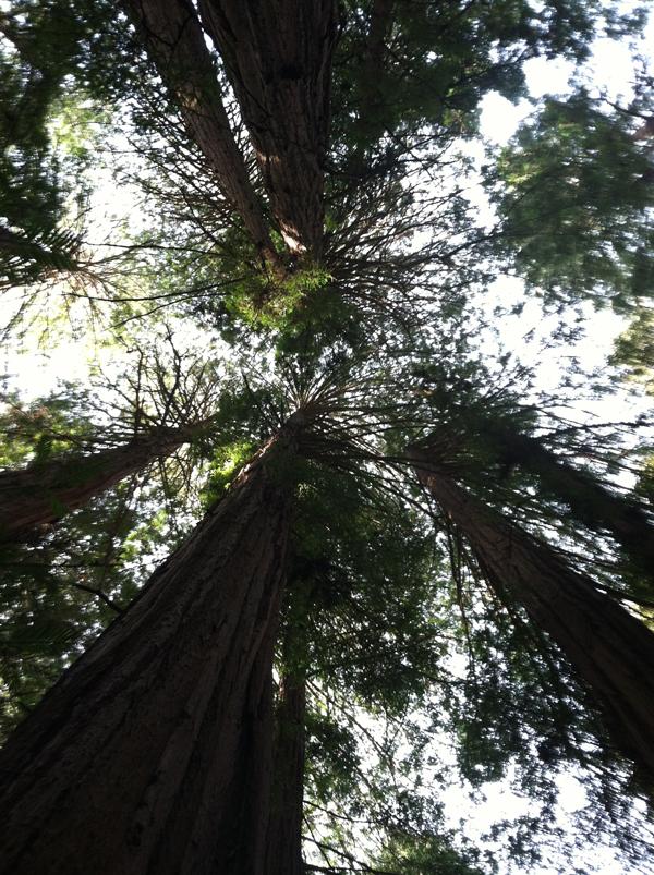 Secuoyas en Muir Woods